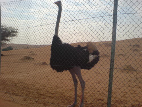 one of the shieks ostrich