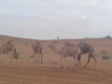 some arabian camels